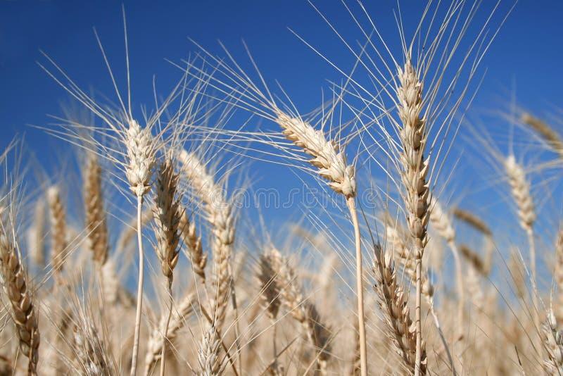 wheat royaltyfri bild