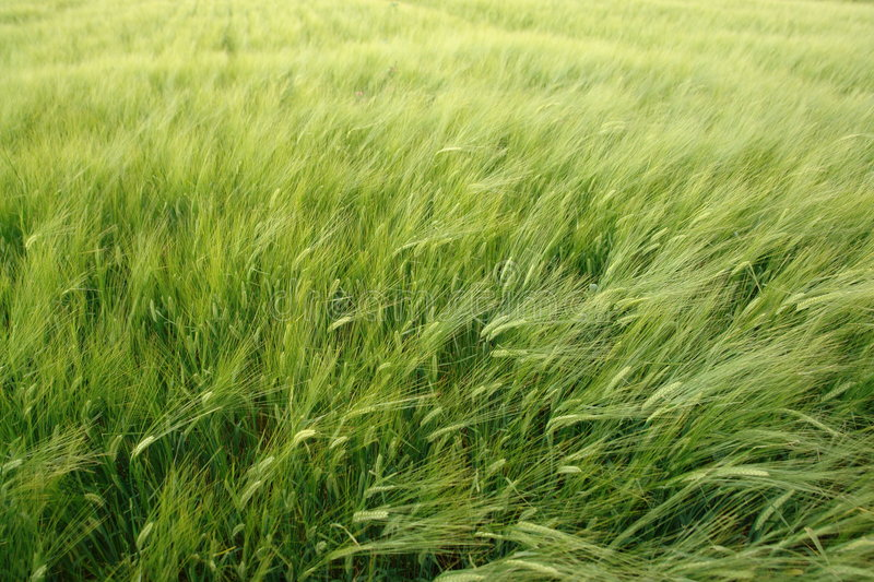 Download Wheat stock photo. Image of beautiful, colour, details - 1165602