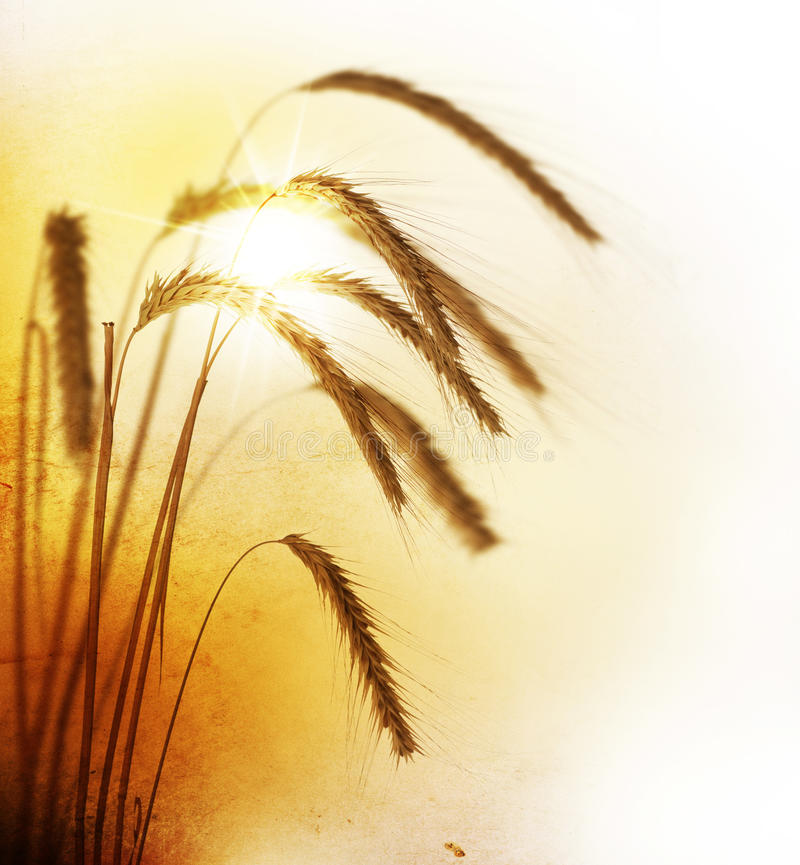Free Wheat Royalty Free Stock Images - 13047889