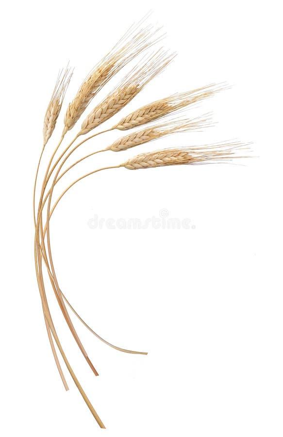Free Wheat Stock Photo - 13274170
