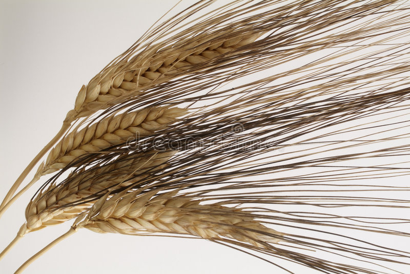 Download Wheat stock photo. Image of granule, scruple, head, pellet - 136206
