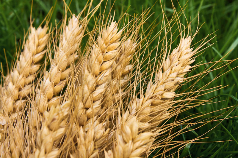 Download Wheat stock photo. Image of details, wheat, crop, gold - 14167066