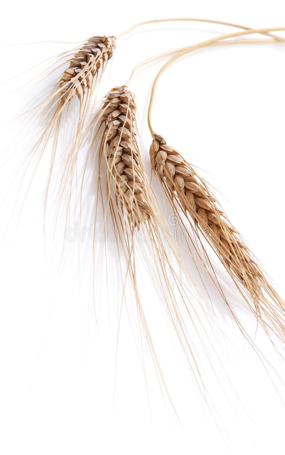 Download Wheat stock photo. Image of isolated, wheat, plant, seed - 14862442