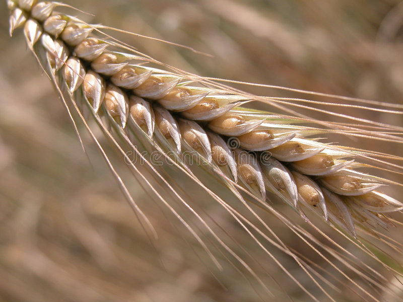 Download Wheat stock image. Image of country, head, spike, field - 160593