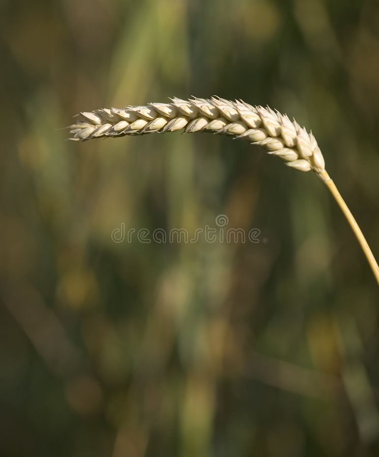 Download Wheat 2 stock image. Image of agriculture, country, farm - 166797