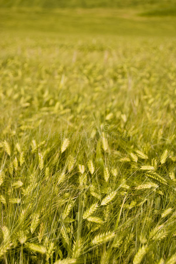 Download Wheat in Norway stock photo. Image of green, ecology - 21893420