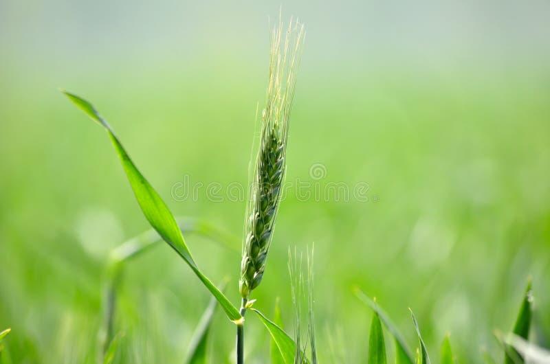 A Wheat Stock Photo
