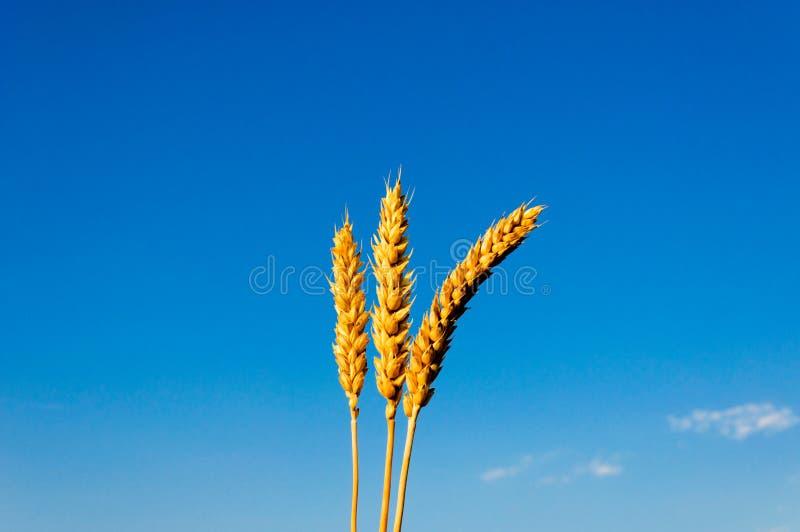 Download Wheat stock photo. Image of bread, ripe, grain, corn - 25422402