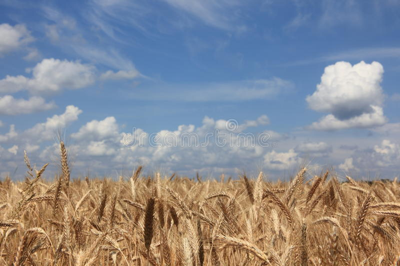 Download Wheat stock photo. Image of change, landscape, agribusiness - 25802754