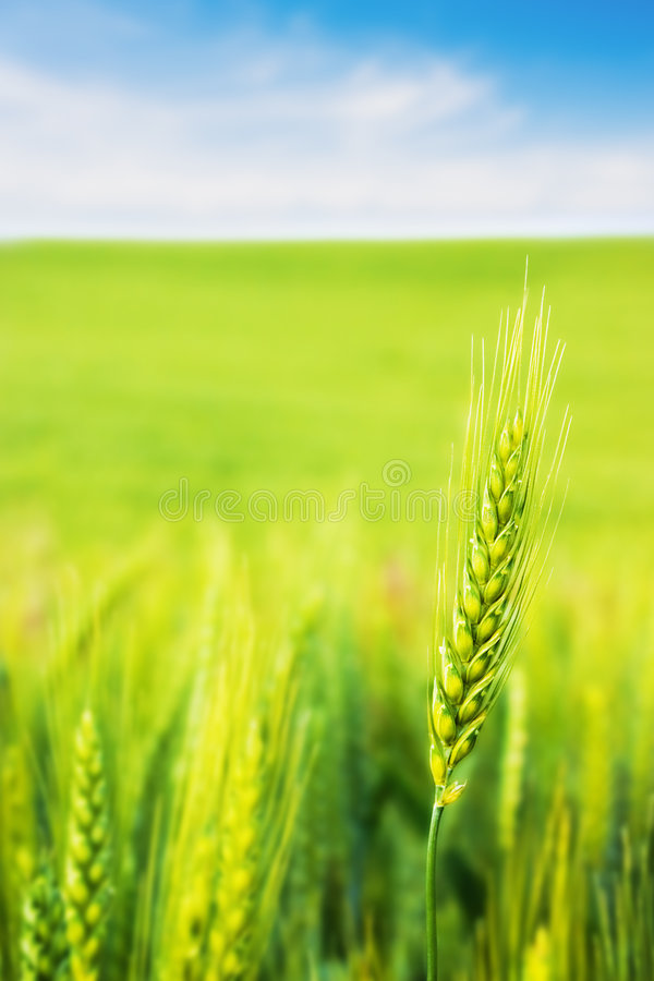 Free Wheat Royalty Free Stock Images - 2657739