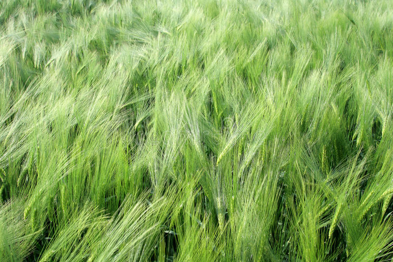 Download Wheat Stock Images - Image: 27864464
