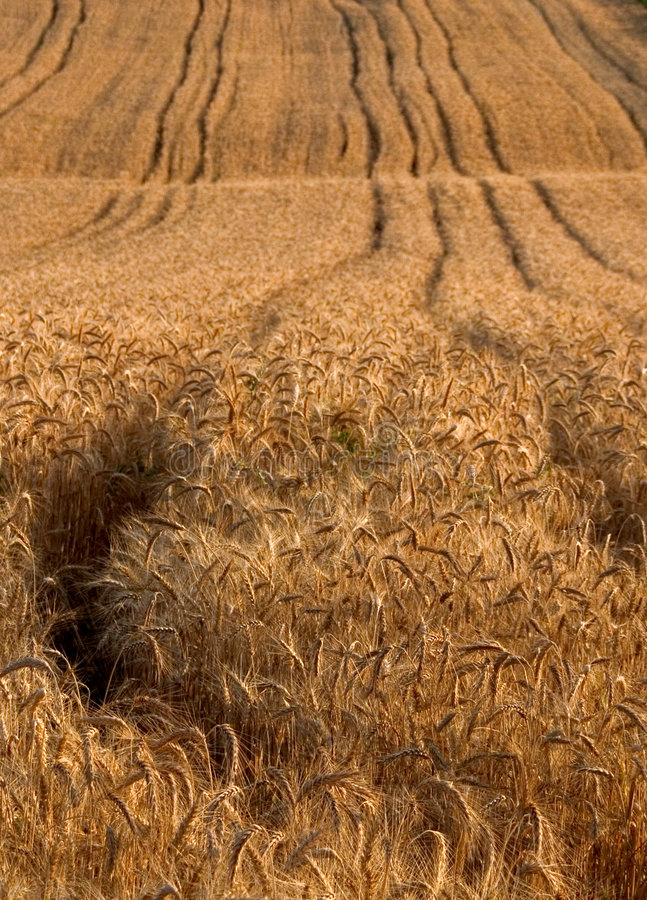 Download Wheat stock image. Image of agriculture, industrie, summer - 28853