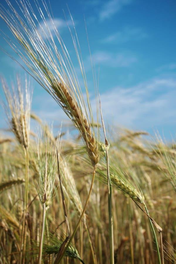 Wheat. Golden wheat in a blue sky stock photos