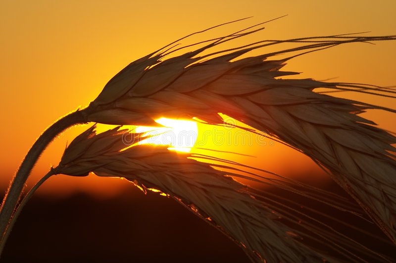 Download Wheat stock image. Image of natural, organic, evening - 3253753