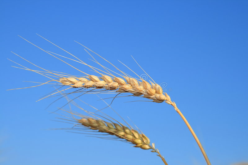 Wheat. stock photography