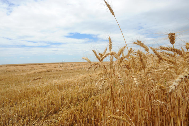 Wheat stock images