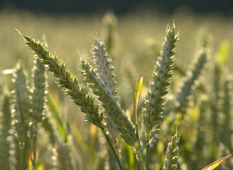 Wheat 4 stock photo