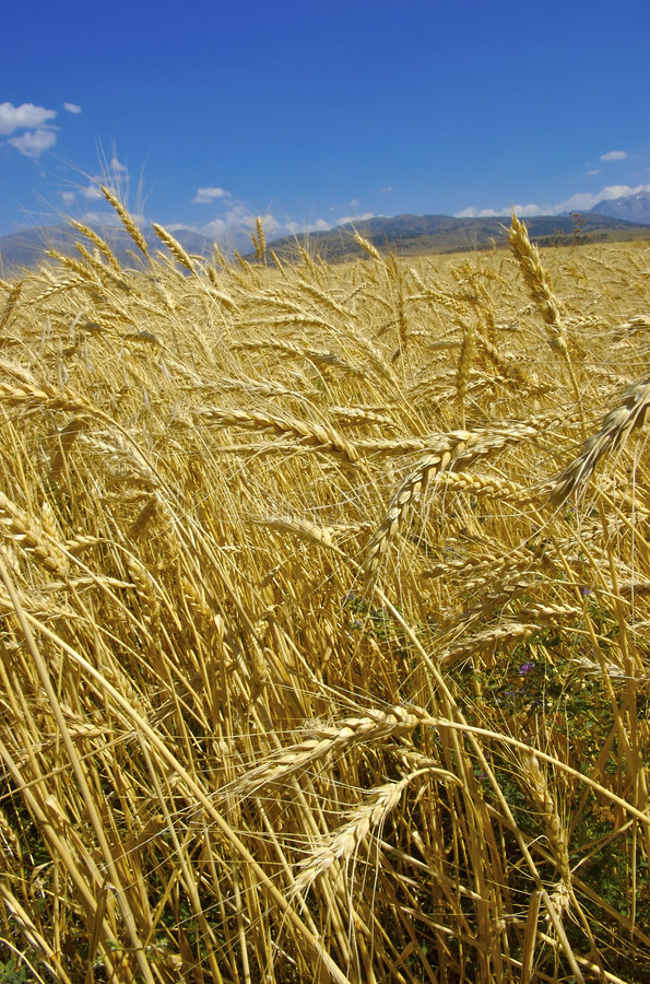 Free Wheat Royalty Free Stock Image - 4172446