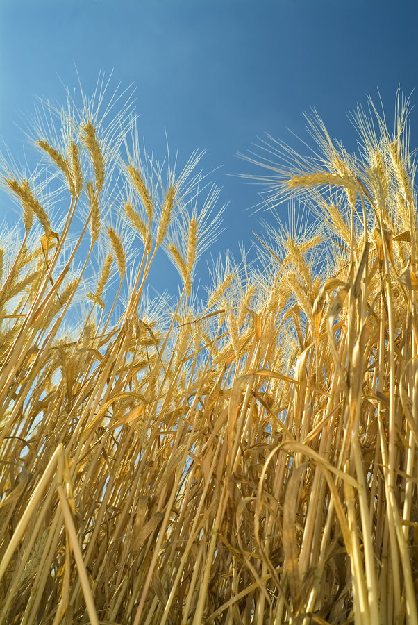 Download Wheat stock image. Image of natural, background, healthy - 5028181