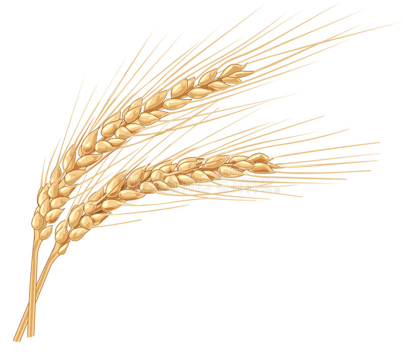 Ears of wheat. Vector illustration for your projects