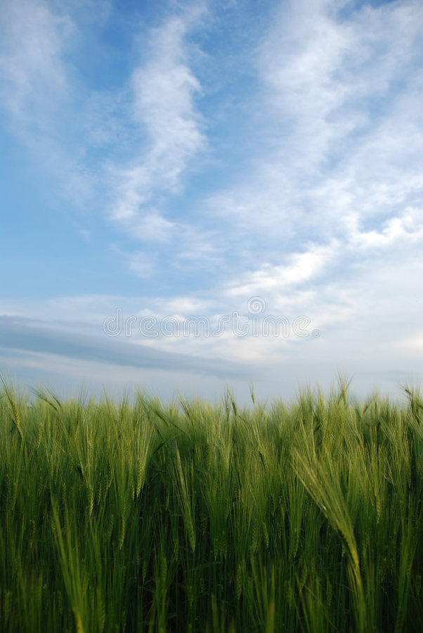 Download Wheat Royalty Free Stock Photography - Image: 7710917