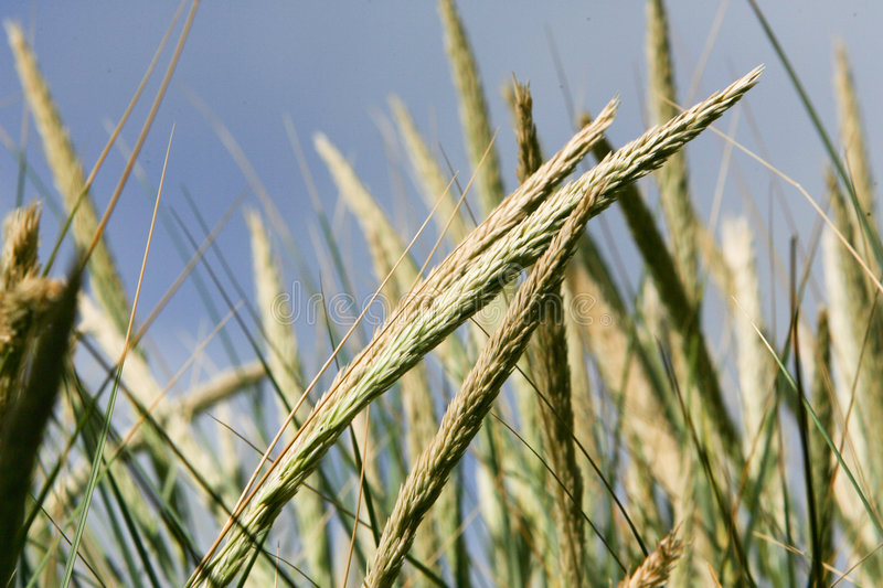 Download Wheat stock photo. Image of tuft, nature, closeup, detailed - 8852472