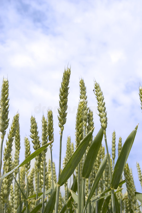 Download Wheat stock image. Image of meadow, cloud, detail, laid - 904379