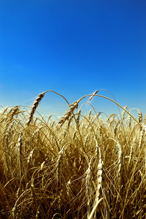 Download Wheat against blue sky stock image. Image of blue, country - 7231747