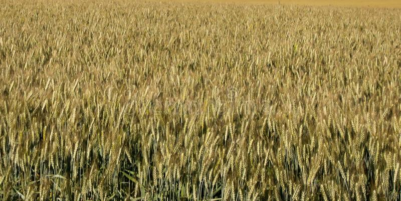 Download Wheat backgound stock image. Image of growing, agriculture - 31551993