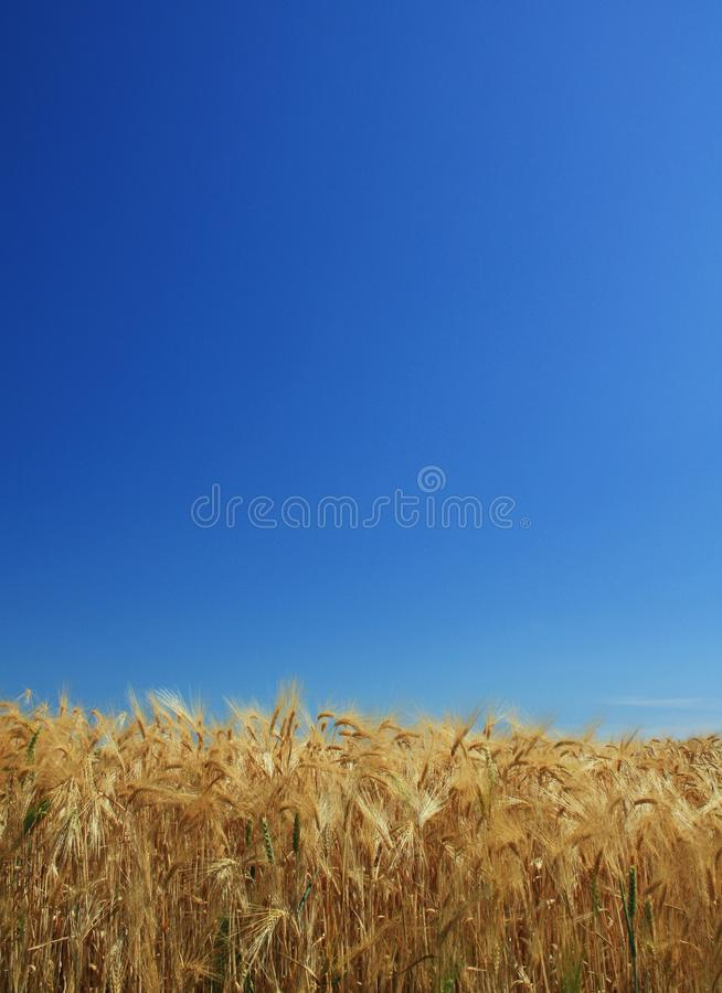 Download Wheat background blue sky stock image. Image of natural - 15089247