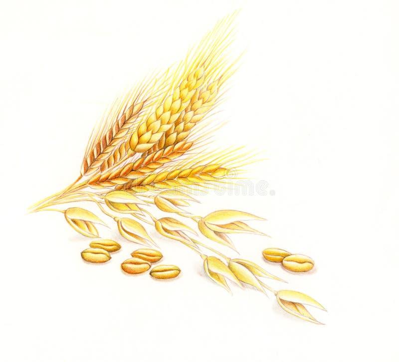 Wheat and barley stock photos