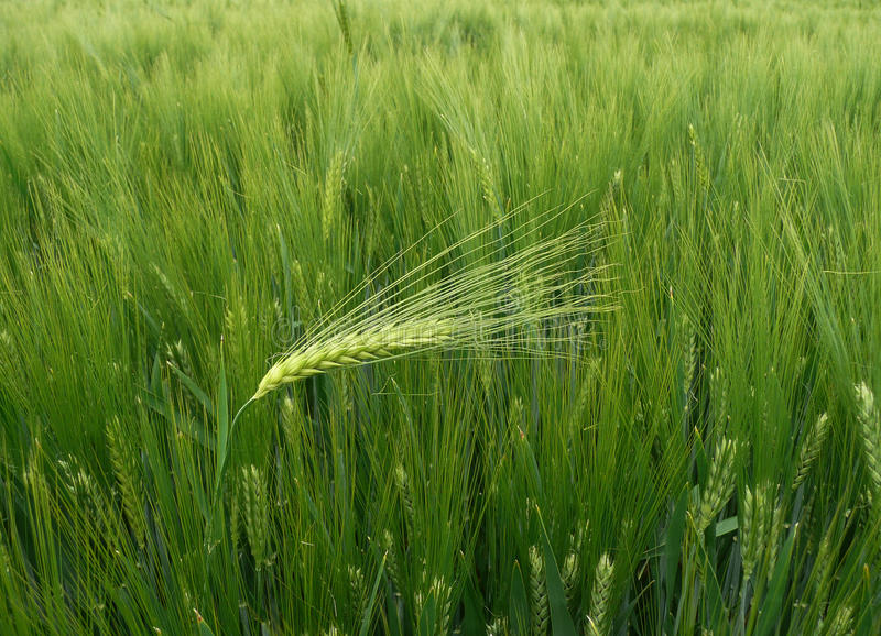 Wheat - barley ear against the wind stock photos