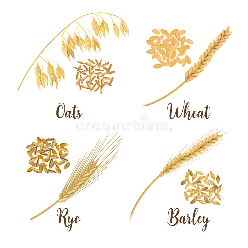 Wheat, barley, oat and rye. Cereals 3d icon vector set. Four cereals grains and ears royalty free illustration