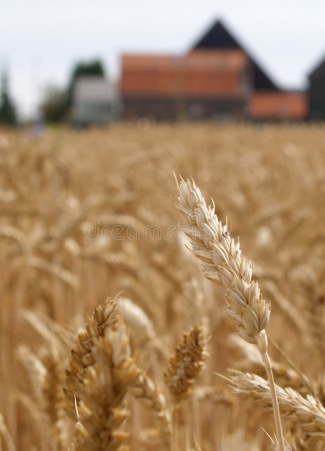 Free Wheat Before Harvest Royalty Free Stock Image - 1286886