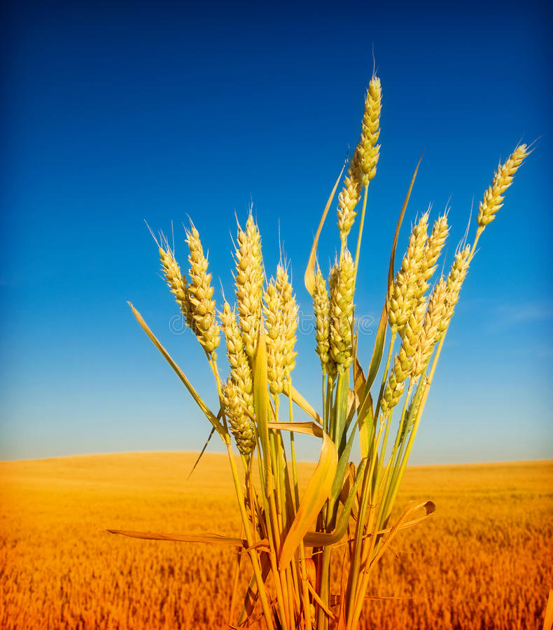 Wheat and blue sky royalty free stock photography