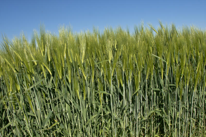 Wheat with a blue sky royalty free stock photo