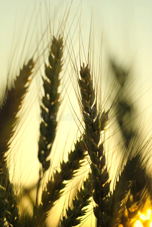 Wheat close-up stock images