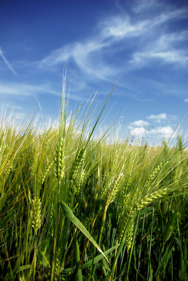 Free Wheat Close-up Stock Photos - 2969663