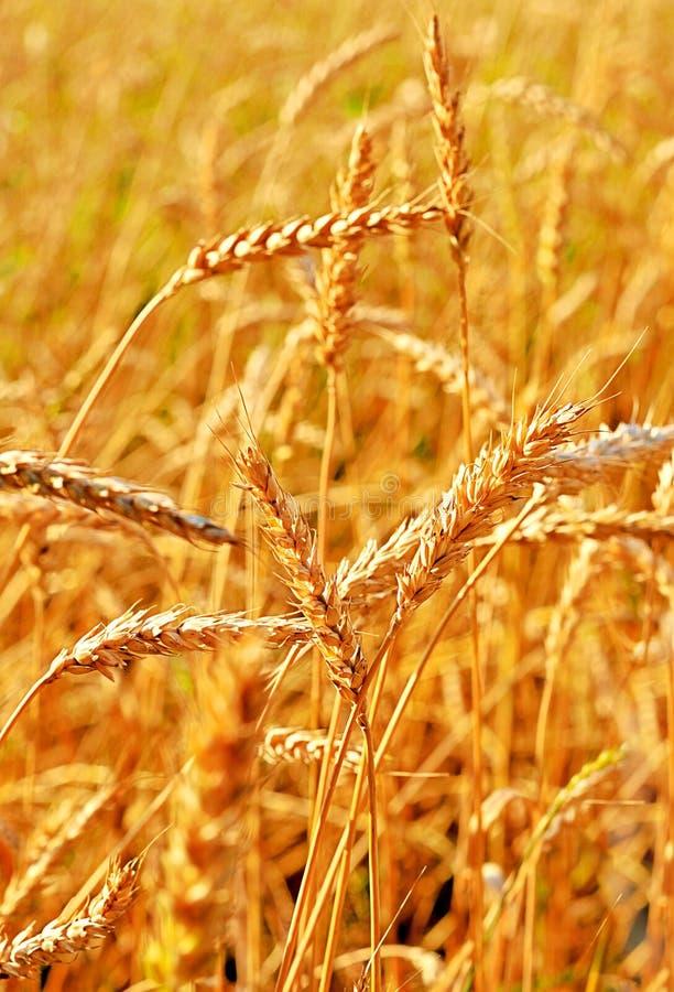 Free Wheat Closeup. Stock Photo - 20942330