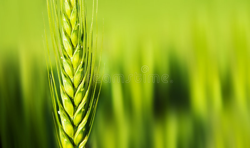 Wheat closeup stock photos
