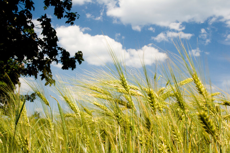 Wheat and clouds stock image