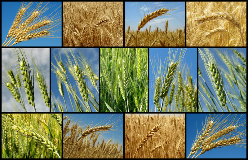 Wheat collection royalty free stock images