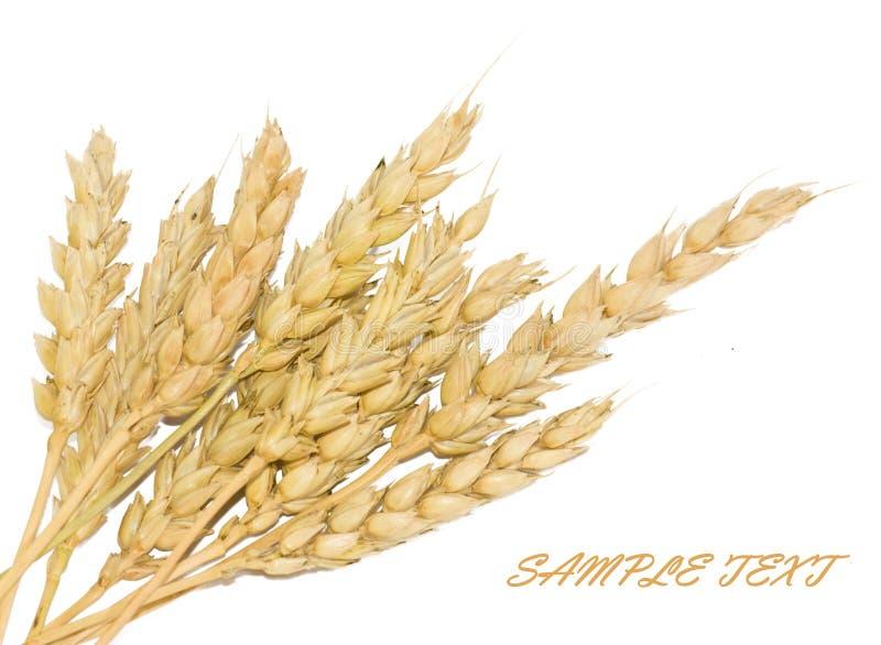 Wheat cones