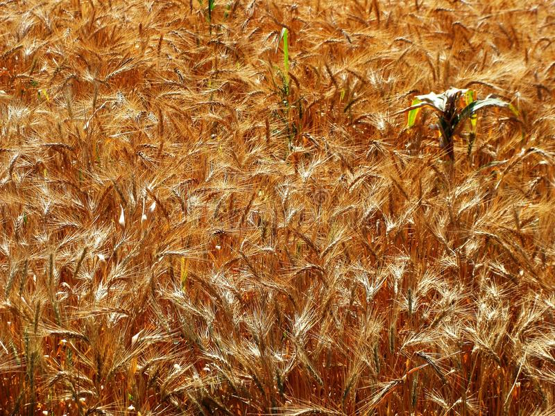 Download Wheat Crop stock image. Image of farming, agriculture - 19167387