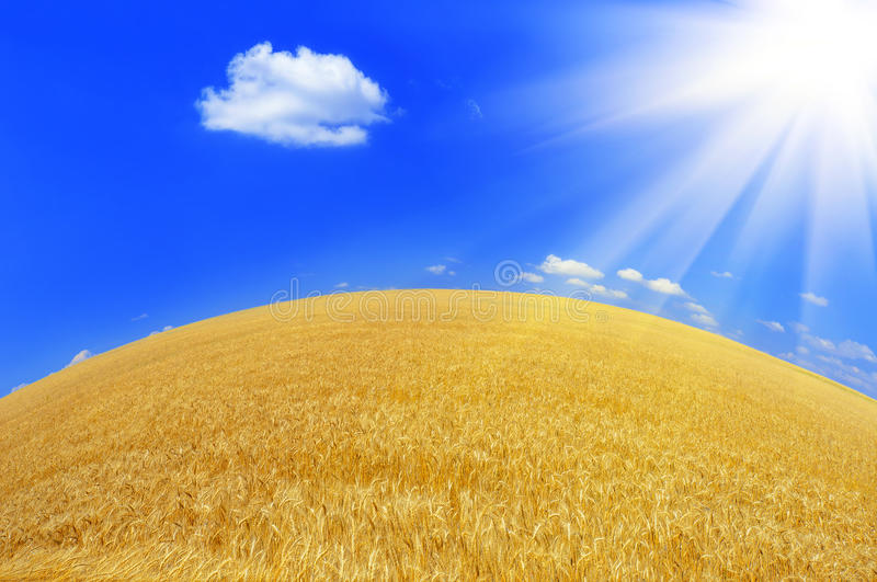 Download Wheat crop stock image. Image of revival, scenery, beauty - 24144735