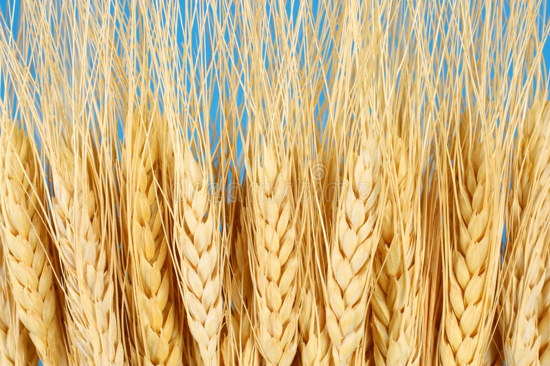 Download Wheat Crop Agriculture & Farming Concept Stock Photo - Image: 8073282