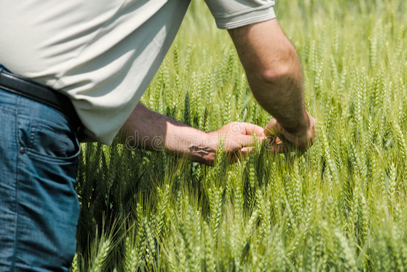Wheat crop protection and responsible cereal grains farming. Male farmer in cultivated field stock image