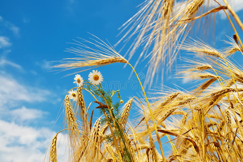 Download Wheat With Daisy Royalty Free Stock Photography - Image: 22892027