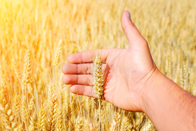 Wheat drought stock images