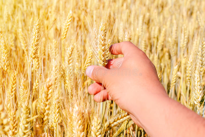 Wheat drought royalty free stock photography